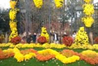 A Angers, les chrysanthèmes, c'est fun